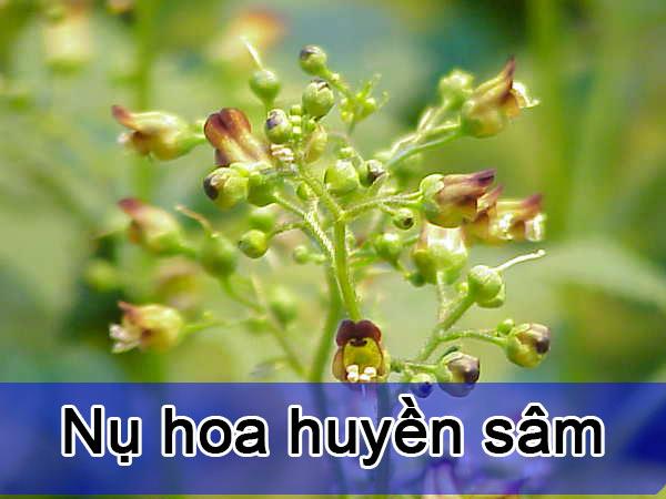 Hình ảnh Nụ hoa Huyền Sâm