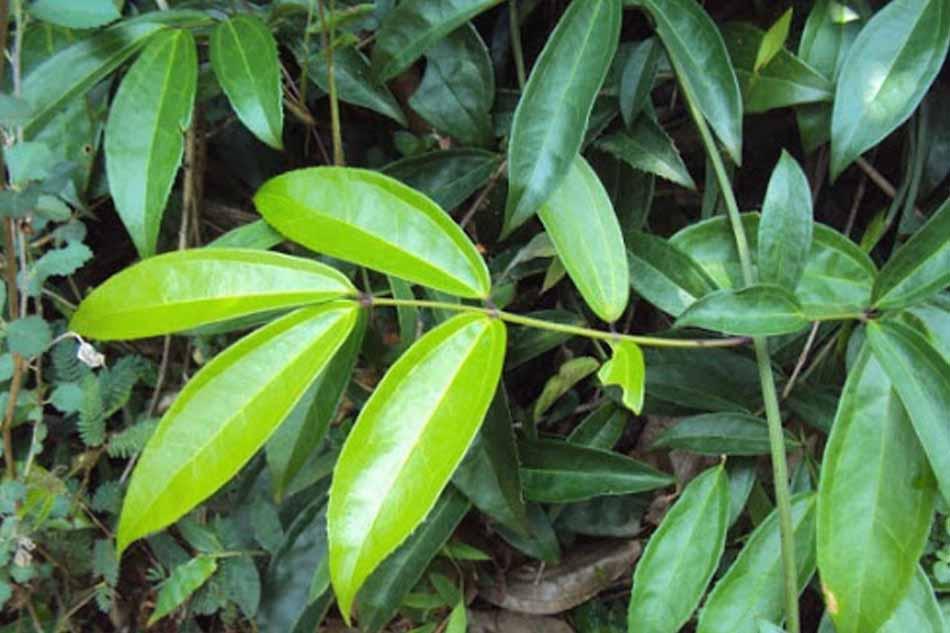 Đặc điểm cây sâm xuyên đá